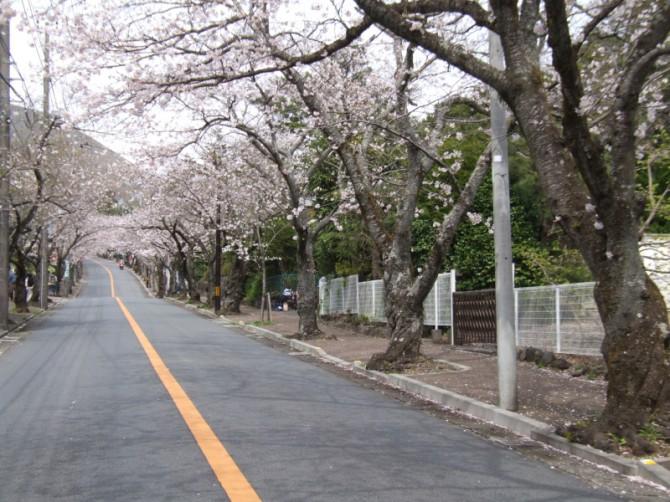 桜並木から